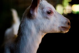 profile-of-maisies-goat