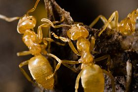 Yellow Ants, Acanthomyops Again